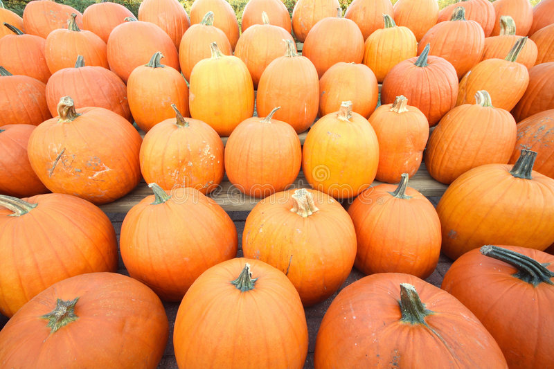 Download Autumn Agriculture.Rows Of Pumpkins Stock Photo - Image: 6082722