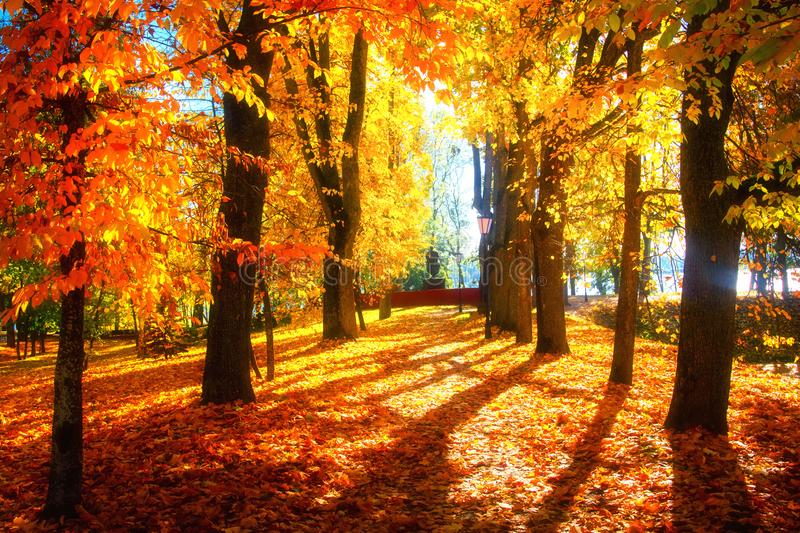 Autumn. Autumn alley in park. Vibrant red and yellow trees on sunny day. Colorful trees in sunlight stock image