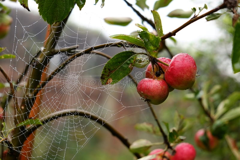Autumn Apples. Apple tree and dew drop spider's web on an autumn morning royalty free stock photo