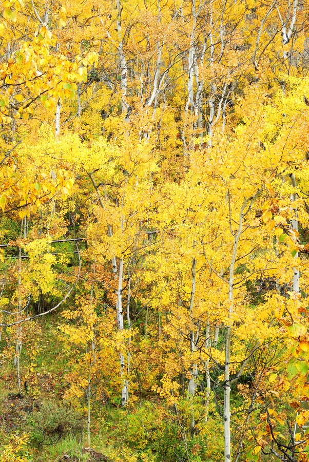 Autumn aspen forest royalty free stock photos
