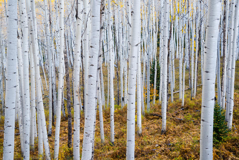 Autumn Aspen Grove fotografia stock libera da diritti
