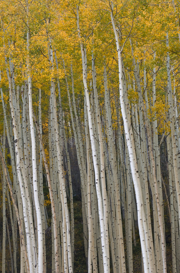 Autumn Aspen near Vail stock image