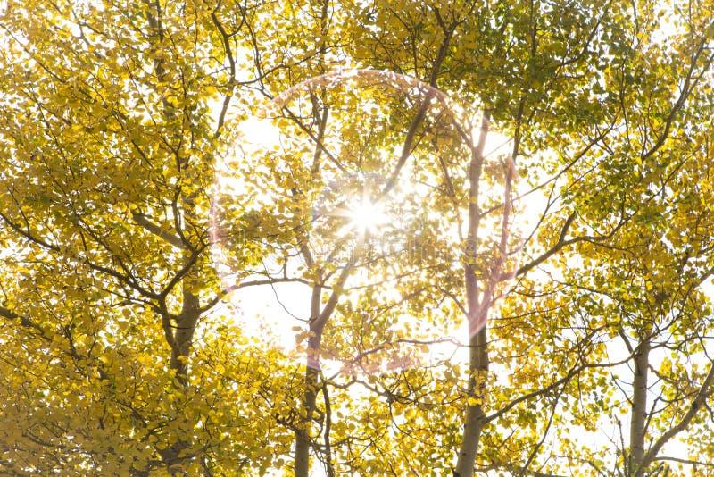 Autumn Aspen Poplar Trees mit Sun stockbild