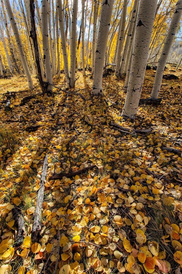 Autumn Aspen Shadows images stock