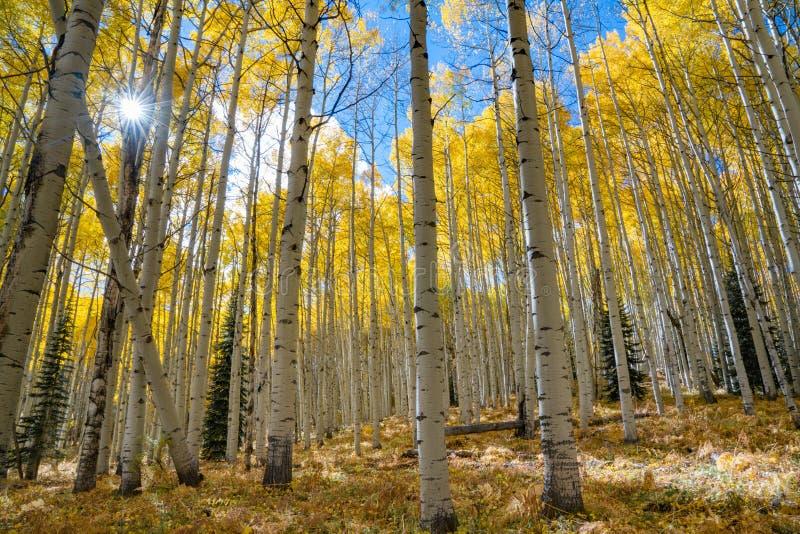Autumn Aspen Sunburst lizenzfreies stockfoto