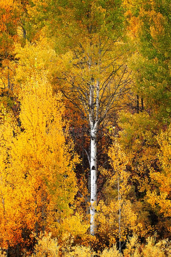 Autumn Aspen Trees Fall Colors Golden-Bladeren en Witte Boomstam stock afbeeldingen