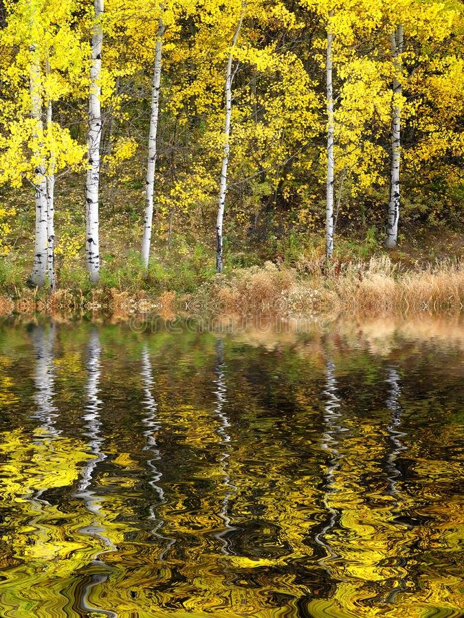 Autumn Aspen Trees Fall Colors Golden-Bladeren en Witte Boomstam royalty-vrije stock foto's