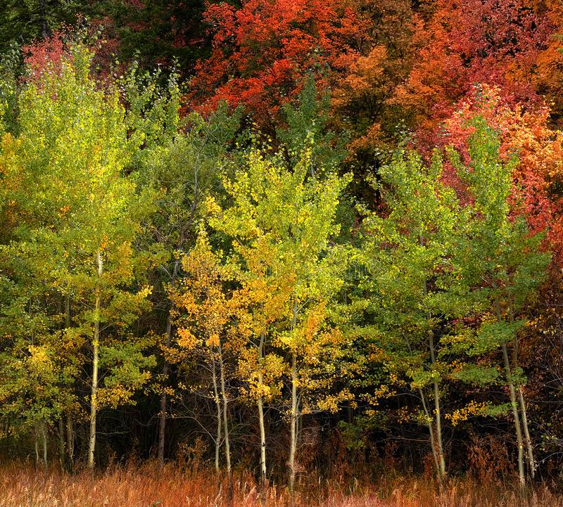 Autumn Aspen Trees Fall Colors Golden Leaves and White Trunk Map. Autumn aspen trees fall colors golden leaves and white trunk bark maple red stock images