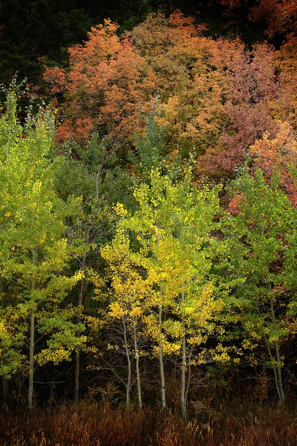 Autumn Aspen Trees Fall Colors Golden Leaves and White Trunk Maple Red. Autumn aspen trees fall colors golden leaves and white trunk bark maple red royalty free stock photo