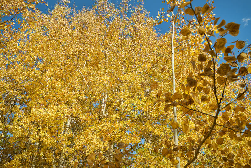 Autumn Aspen Trees, Nicola Valley, British. An aspen grove in the Nicola Valley in full autumn colors. British Columbia, Canada royalty free stock photography
