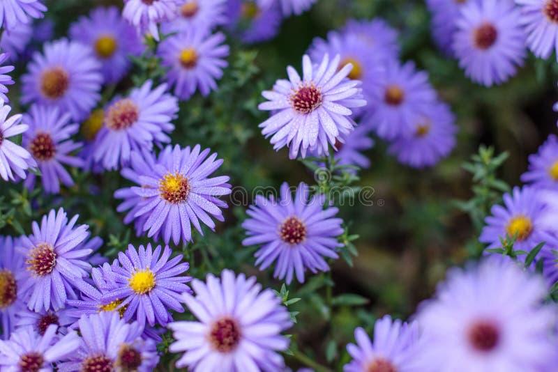 Autumn Aster Ausf?hrliche vektorzeichnung Purpurrote Herbstblumen stockfotografie
