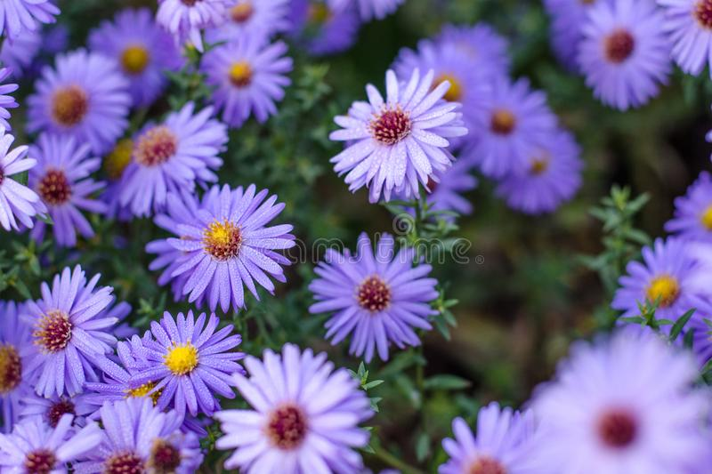 Autumn aster. Floral background. Purple autumn Flowers stock photography