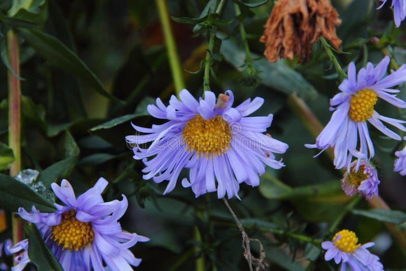 Autumn aster. Flower.
