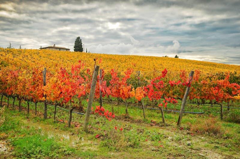 Autumn Atmosphere i en Wineyards i Tuscany, Chianti, Italien fotografering för bildbyråer
