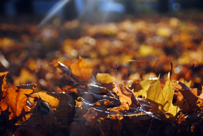 Autumn background and bright yellow leaves product montage display. Mock up for design stock photos