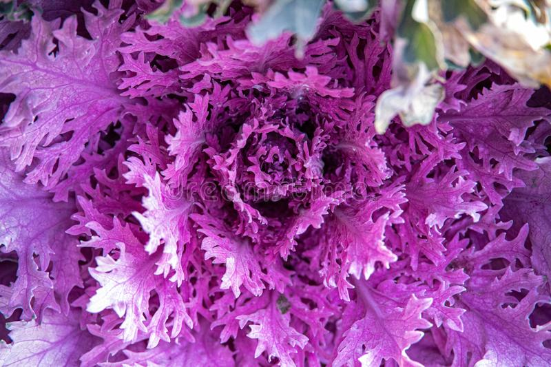 Autumn background in close-up of decorative cabbage growing in the garden in the cold November sun. Beautiful autumn background in close-up of decorative cabbage royalty free stock photos