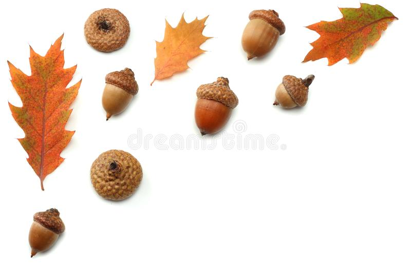 Autumn background with colored oak leaves isolated on white background. top view stock image