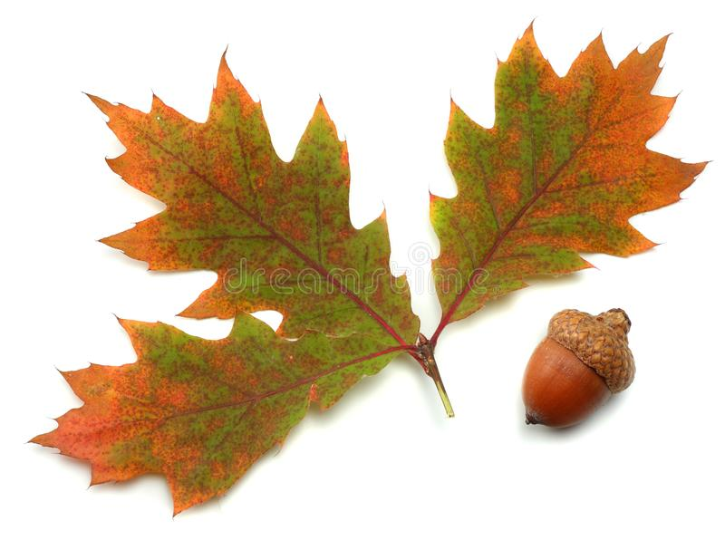 Autumn background with colored oak leaves isolated on white background. top view stock photography