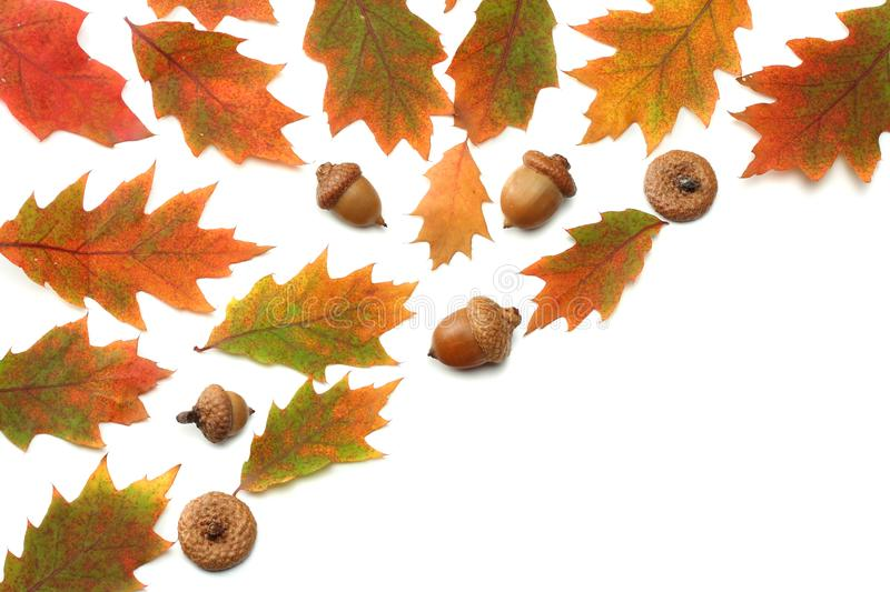 Autumn background with colored oak leaves isolated on white background. top view royalty free stock photo