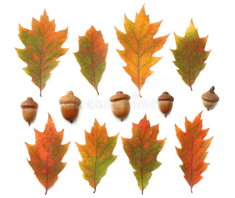 Autumn background with colored oak leaves on white background. top view stock images