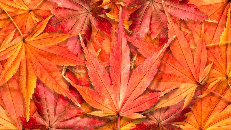 Autumn Background with Colorful Maple Leaves Falling on The Ground stock photo