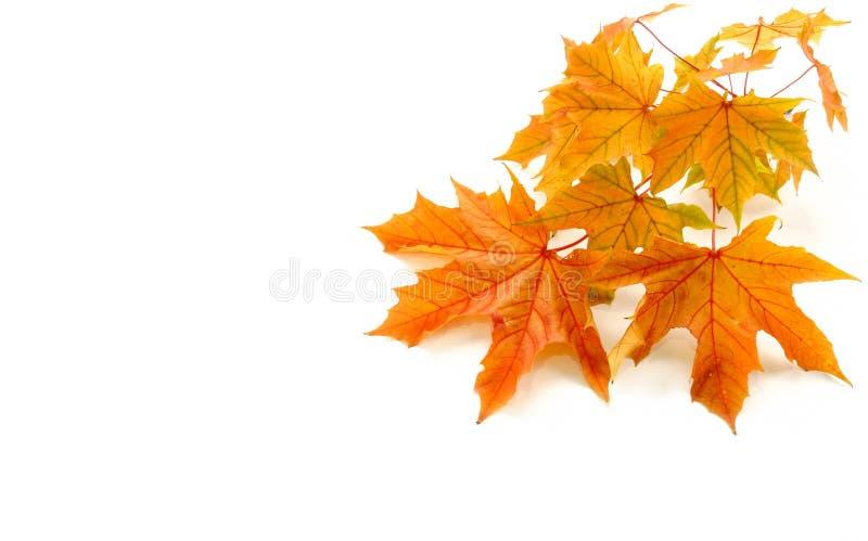 Autumn Background com o galho das folhas da castanha fotografia de stock royalty free
