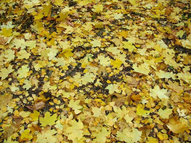 Autumn background - fallen yellow maple leaves stock photos