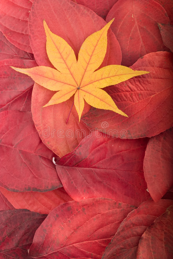 Free Autumn Background From Red Leaves Maple Leaf Stock Images - 7060534
