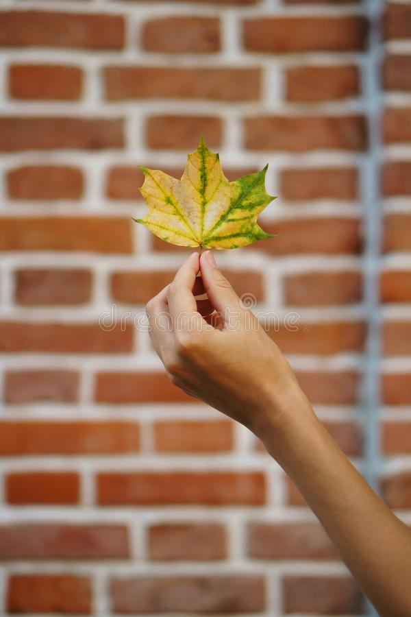 Autumn background. Girl`s hand holds yellow-green maple leaf against brick wall. Colorful Autumn. Maple Leaves are falling on the ground. Useful as seasonal royalty free stock images