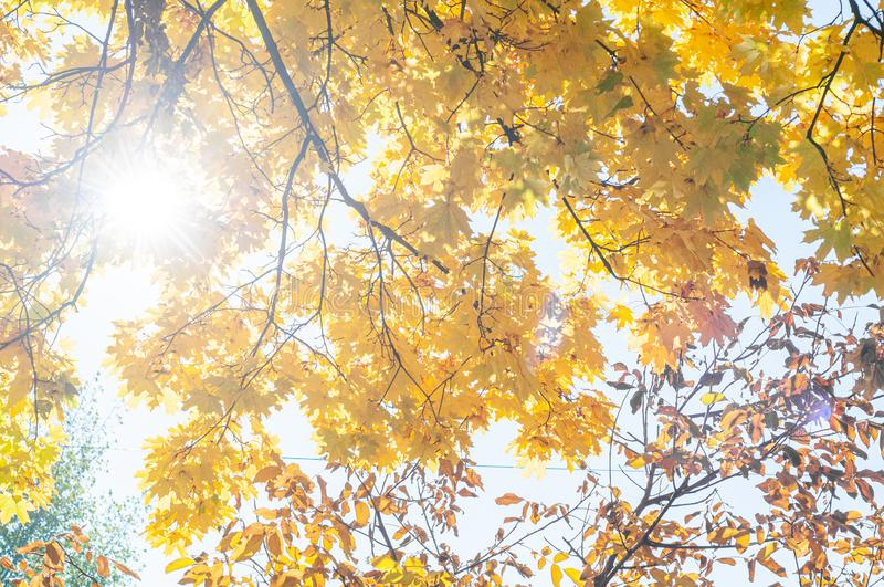 Autumn background with golden yellow foliage. Bright sun shines through yellowed leaves maple. Plants outdoors. Horizontal background. Bright autumn time royalty free stock images