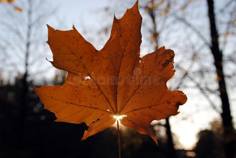 Autumn background. Last maple leaf on a branch against a blue turquoise sky background glows in the sun close-up in nature royalty free stock image