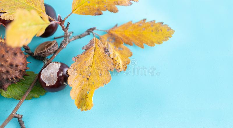 Autumn background. Leaves, chestnuts, dried leaves on pastel blue background. Autumn, fall concept. View from above. copy space royalty free stock photo