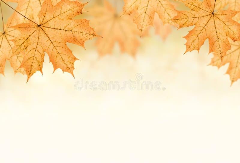 Autumn background. Of many big yellow maple leaf, horizontal photo collage royalty free stock photography