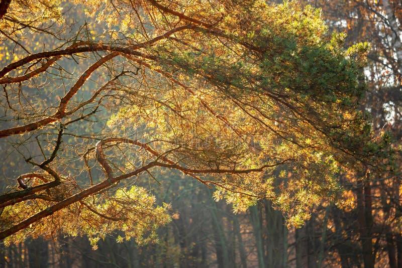 Autumn background, morning sun, pine branch stock photos