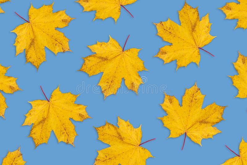 Autumn background from natural dry leaves of a maple. Forest orange leaves on blue background. Template for autumn greeting card, royalty free stock photography