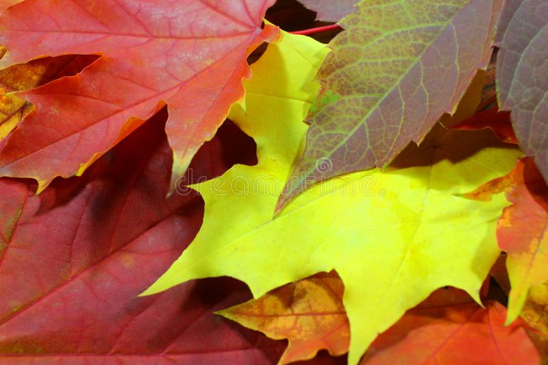 Autumn background pattern, maple leaves royalty free stock photos