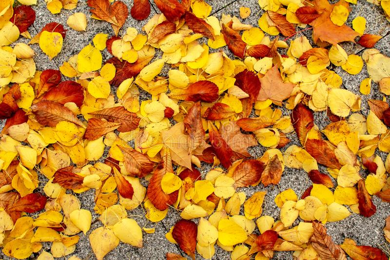Autumn background. Red and gold leaves. royalty free stock photo