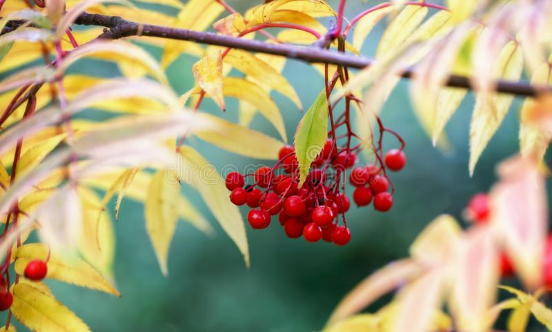 Autumn background, Rowan branch in autumn, Rowan berries, yellow leaves, blurred, yellow, green, orange, close-up, autumn stock image