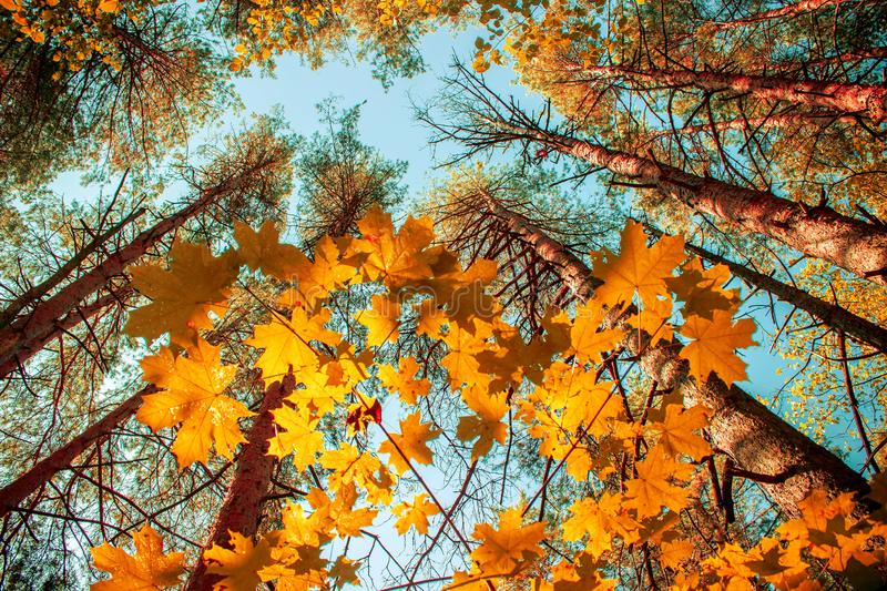 Autumn background. View from below on the crowns pines and maple trees with yellow and red leaves royalty free stock image