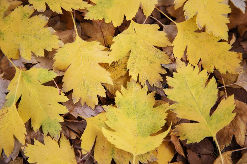 Autumn, background, wallpaper, yellow hawthorn leaves, carved, fallen from a tree, park, walk, texture stock photo