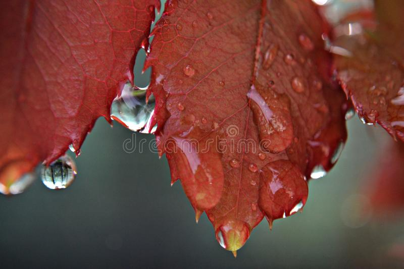 Download Closeup Of Rainy Drops Hanging From Red Rose Leaves Stock Image