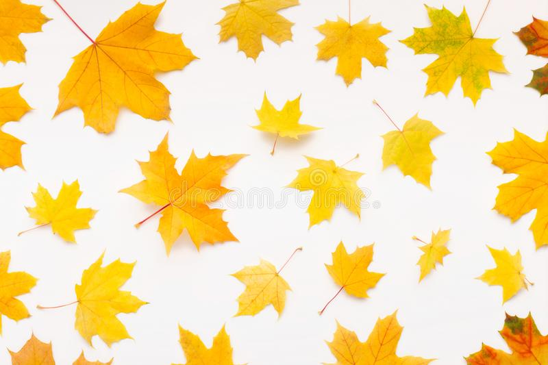 Autumn background with yellow maple leaves randomly falling. On white, copy space royalty free stock photos