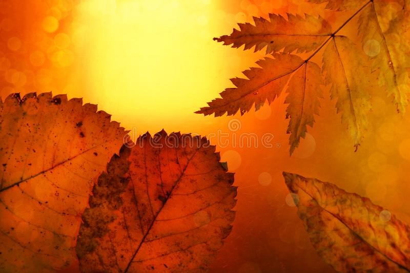 Autumn background yellow orange leaves festive bokeh stock photography