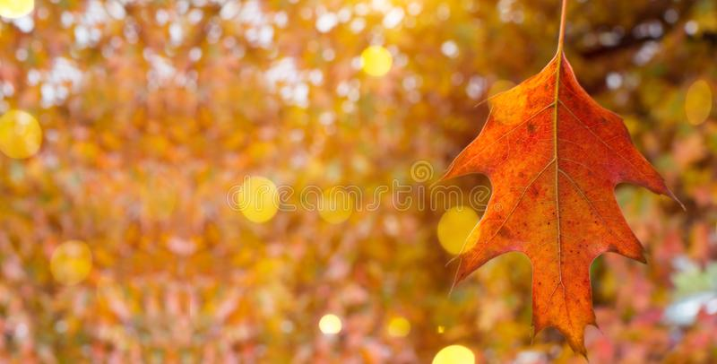 AUTUMN BACKGROUNDS, COLORFUL LEAF WITH DEFOCUSED FALL COLORS AND SUNSET LIGHT LIKE BACKGROUND. COPY SPACE. WEB BANNER stock photo