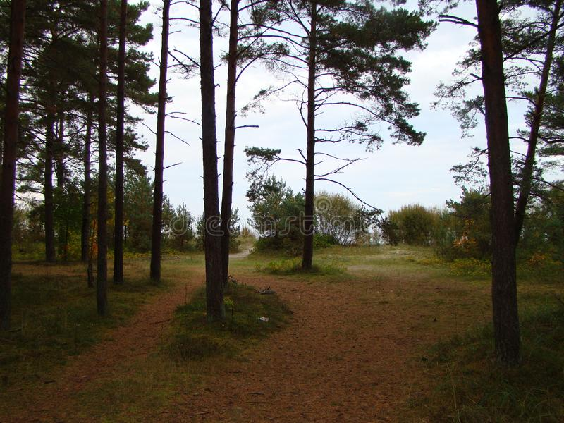 Autumn beach in Jurmala. View of the pine forest. royalty free stock photos