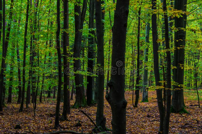 Autumn beautiful forest, chic big trees, yellow leaves and moss. Background. stock photo