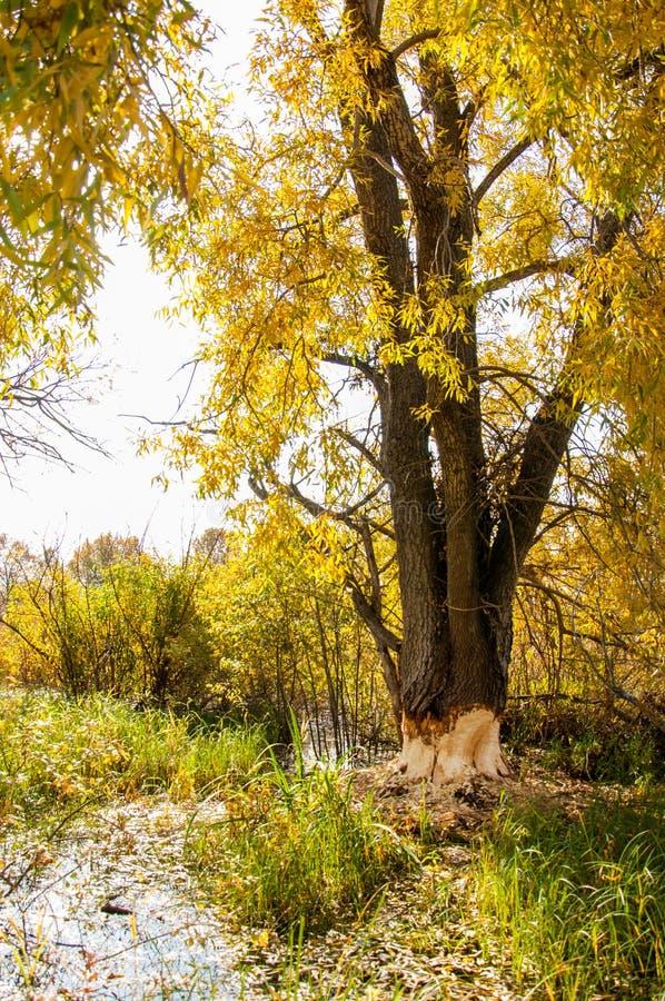 Autumn Beavers estragou a árvore imagens de stock