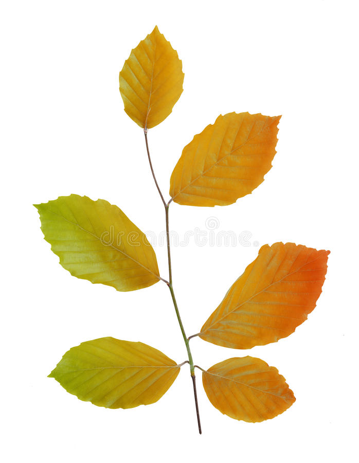 Autumn beech branch. With colorful leaves isolated royalty free stock photo
