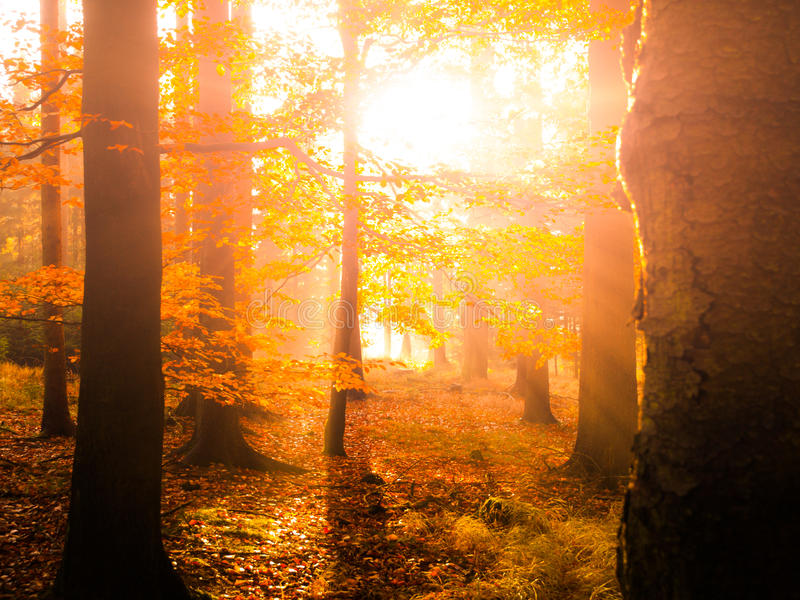 Autumn in beech forest. Beautiful warm scenery with first morning sun rays in misty autumnal forest royalty free stock images