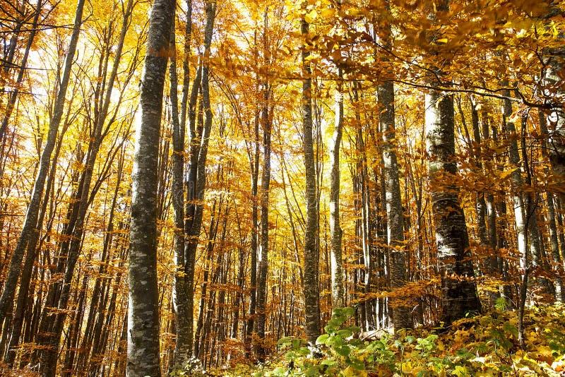 Autumn Beech Forest colorido brilhante imagens de stock